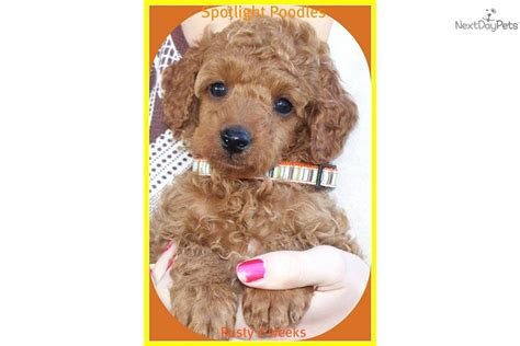 indiana poodle rescue poodle miniature puppy for sale near terre haute indiana