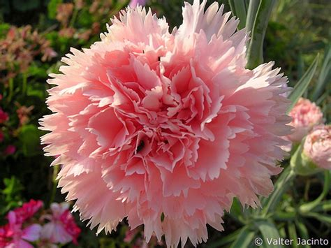 Dianthus Chabaud Orange cravo chabaud carnation chabaud dianthus caryophyllus flickr photo