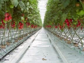 cannabis indoor ohne le hidroponik pada tanaman tomat weirdo s random post