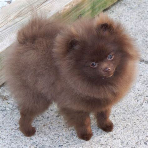 pomeranian colors white brown is the color of wood or rich soil description from imgarcade i