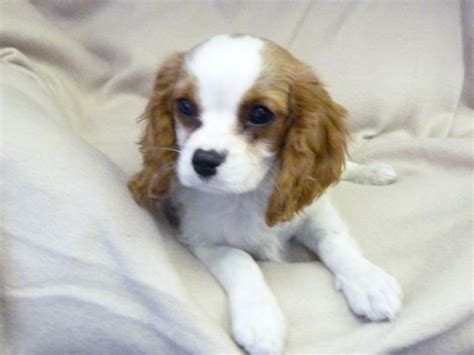 cavalier king charles spaniel puppy for sale cavalier king charles spaniels for sale breeds picture