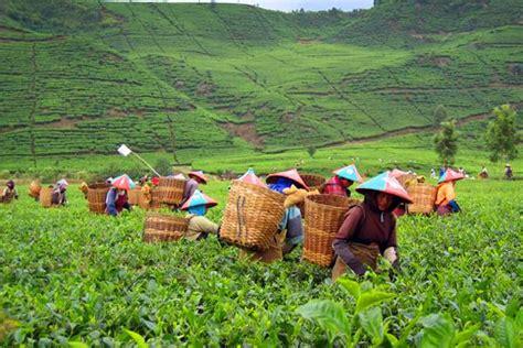 Teh Desa Jawa tingginya angka perpindahan penduduk dari desa ke kota colorful