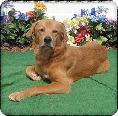 golden retriever mix puppies for adoption mixed breed dogs for adoption in golden retrieverlabrador breeds picture
