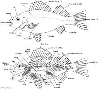 diagram of a bony fish class osteichthyes p1osteichthyes2013