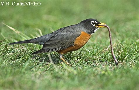 what do american robin bird eat american robin c22 35 004 jpg