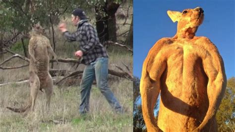 saves from kangaroo punches kangaroo to save his the aftermath