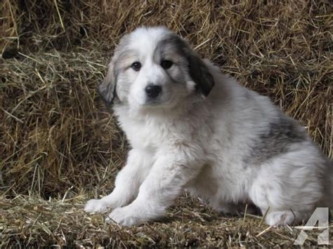 great pyrenees puppies michigan great pyrenees akc puppies breeds picture