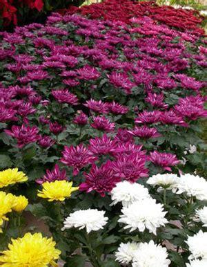 Tanaman Hias Ravenia Spectabilis tanaman hias bunga tanamanbaru