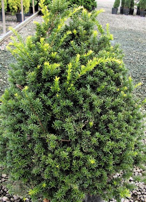 yew gammon s garden center landscape nursery