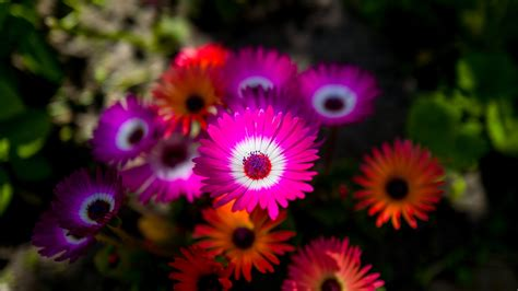 wallpaper african daisies purple orange hd  flowers