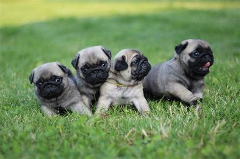 pug screen saver 200 best images about pug wallpaper screensaver on a pug brindle pug and pug