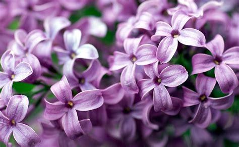 Lilin Souvenir Dekorasi Bentuk Bunga bee wedding and decoration lilac siapa takut
