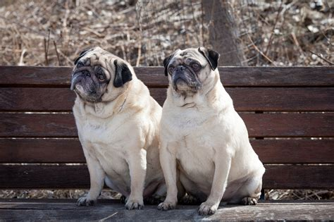 are or pugs better nothing better than hanging out at the park with a friend about pug