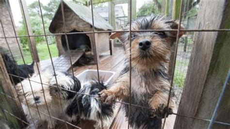 puppy mills in nc dozens of dogs rescued from carolina puppy mill