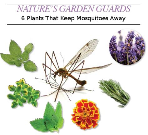 what plants keep mosquitoes away nature s garden guards 6 plants that keep mosquitoes away