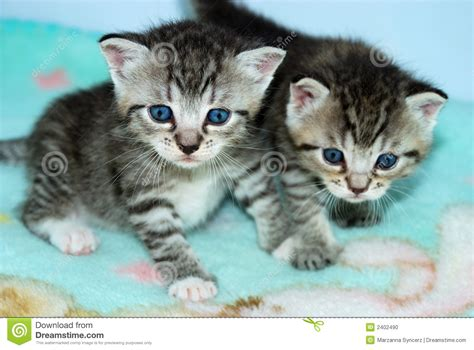 Kaos Kucing Blue Tabby Abstract two tiny tabby kittens stock photo image 2402490