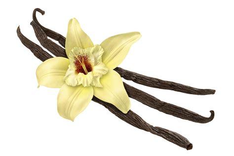 fiore di vaniglia vaniglia la bacca della dolcezza edo
