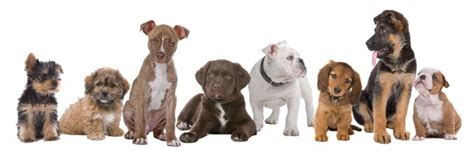 puppy and socialization tips category animal behavior college