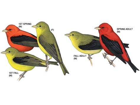 image gallery scarlet tanager