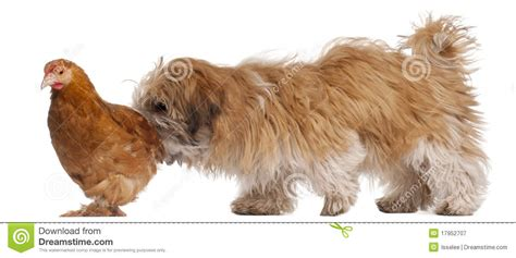 shih tzu 6 months shih tzu puppy 6 months and a hen royalty free stock photography image 17952707