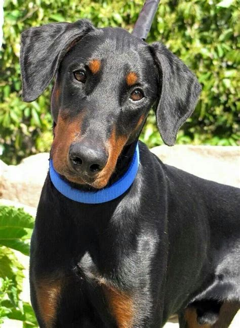 his name was my with a remarkable doberman pinscher books 2100 best dobermans a s best friend images on