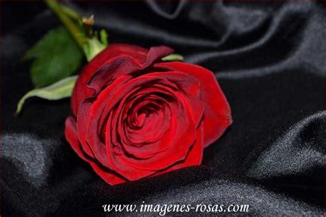 imagenes de rosas bellas the gallery for gt una rosa roja hermosa