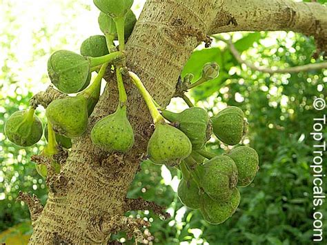 elephant fruit tree ficus auriculata ficus roxburghii elephant ear fig tree
