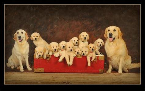 features of golden retriever autumn lake golden retrievers golden retrievers breeders golden retrievers