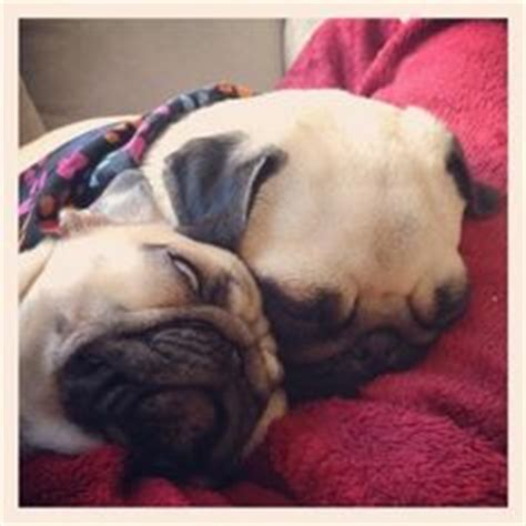 ellie and darcie the pugs lol dogs and puppies lol