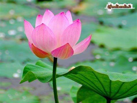 fiori immagini gratis sfondilandia it sfondo gratis di fiore di loto per
