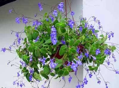 streptocarpus  trailing violet hummingbirds love