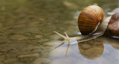Snail L by Free Photo Snail Shell Water Puddle Macro Free Image On Pixabay 187559