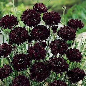 Black Flower Garden Cornflower Seeds Centaurea Cyanus Black Flower Seed