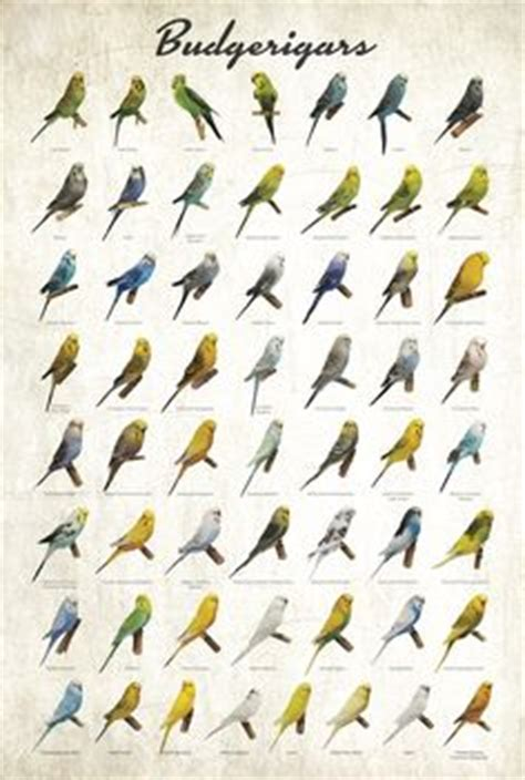 cockatiels poster justforbirds net everything reminds me