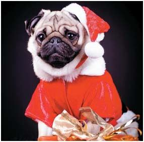 pug uti common pug odor and what to do about them pugs