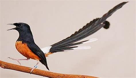 burung termahal  indonesia  harganya bikin dompet