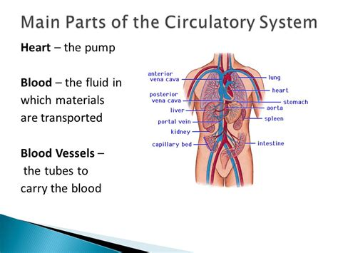 what are the three main sections of the brain 3 2 circulatory system ppt video online download