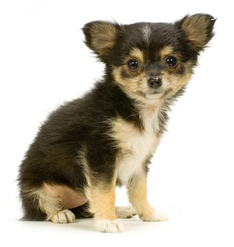 haired chihuahua puppy black haired chihuahua puppies