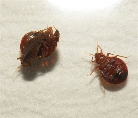 do bed bugs fly pest library pest solutions 365