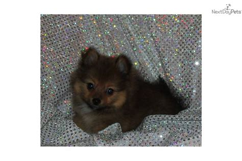 teacup pomeranian houston chihuahuas for sale in houston tx rachael edwards