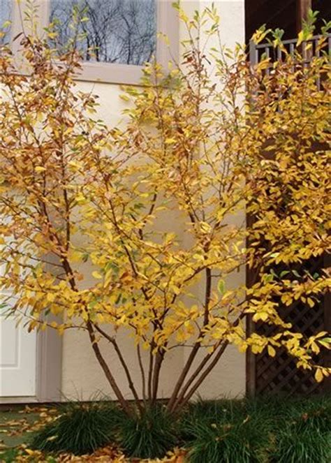 common witchhazel gardening ideas pinterest