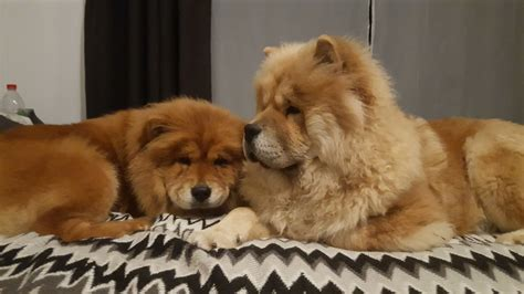 chow dogs for sale chow chow puppies for sale greenford middlesex pets4homes