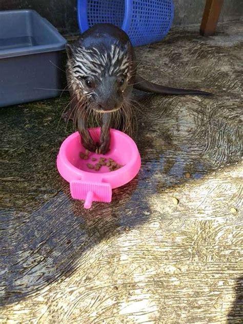 otter animals  sale texas  tx  petzlover