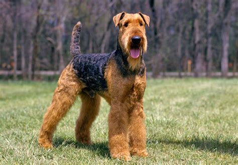 Dog Breeds That Start With 'A' - Find List With Pictures ...