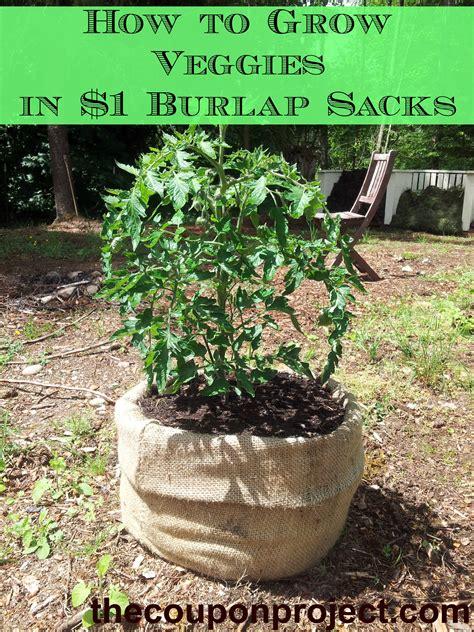 Burlap Bag Planter by Frugal Gardening Growing Food In Burlap Sacks Gardens