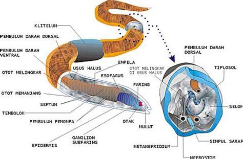 Gelang Cacing Dari Tanduk sistem pencernaan pada hewan muhammad bahrul ulum