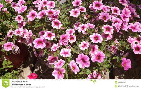 the cabaret of plants calibrachoa cabaret pink vein cabaret pink vein calibrachoa stock photo image 47043102