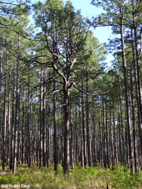 trees nc longleaf pine pinus palustris