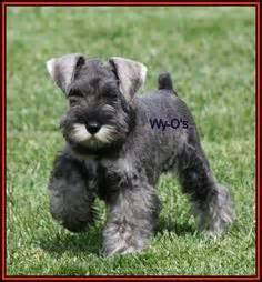 show me some hair cuts for miniature schnauzers 1000 images about the terriers on pinterest scottish