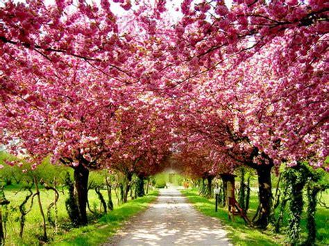 blossom hill christmas trees прекрасный символ японии сакура картинки фото
